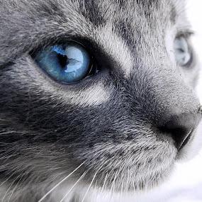 Blue little one by Milan Milosevic ヅ - Animals - Cats Kittens ( purr, cat, kitten, meow, blue, little, eyes, eye )