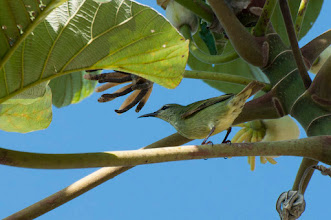 Photo: Red-legged Honeycreeper (Türkisnaschvogel); Bacalar, QROO