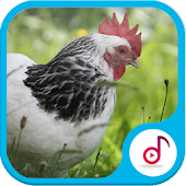 Completely Chicken Sound Ringtone Collections