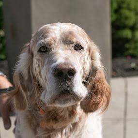 Huckleberry 4 by Jill Zwick - Animals - Dogs Portraits ( pet portrait, english setter, dog, pet, dog portrait )