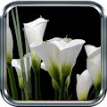 White Lily Wallpaper APK