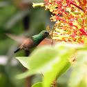 Blue-tailed Hummingbird