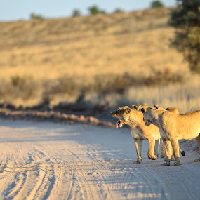 Lion territory by Arend Van der Walt - Animals Lions, Tigers & Big Cats ( lion, tongue, south africa, three, arid, road, kgalagadi )