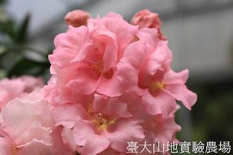 Photo: 拍攝地點: 梅峰-溫帶花卉區 拍攝植物: 重瓣金魚草 拍攝日期:2012_10_30_FY