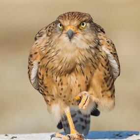 The stare by Rian Van Schalkwyk - Animals Birds ( bird, staring, bird of prey, etosha, greater kestrel, etosha national park, raptor,  )
