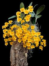 Photo: Dendrobium lindleyi var. majus 'Chun Gem' - Hoàng Thảo Vẩy Rồng
