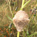 Chinese Mantis ootheca (egg case)