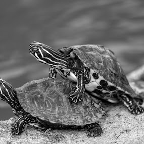 I got your back by Maurice Cheeks - Black & White Animals ( black and white, friendship, wildlife, turtles, turtle,  )