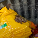 Chirping Frog
