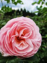 Photo: Creamy pink rose at Wegerzyn Gardens in Dayton, Ohio.