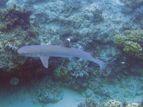 Photo: Triaenodon obesus (White Tip Reef Shark), Naigani Island, Fiji
