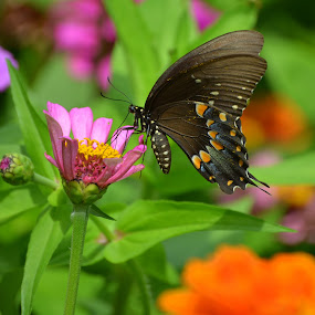 Butterfly Delight by Larry Bidwell - Animals Insects & Spiders (  )