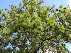 Photo: heel veel maretakken mooi verdeeld in de boom