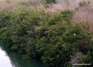 Photo: White Ibis and Yellow-crowned Night-Heron, Nuevo Vallarta