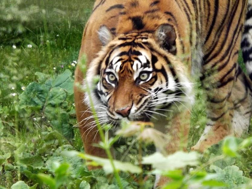 Tigre de Sumatra, Doué la Fontaine - Tous droits réservés
