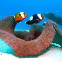 Saddleback clownfish