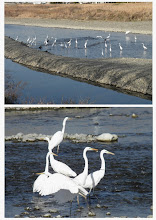Photo: 撮影者:sayoko sato 鳥名:ダイサギ タイトル:新年会でしょうか 観察年月日:2014年1月7日 羽数:約40羽 場所:ふれあい橋上流 区分:行動 メッシュ:武蔵府中3K コメント:初め数えたときは18羽だったのですがだんだんに増えてわたしが新井橋までいって戻ってきたら40羽以上になっていました。この中の7,8羽はオオダイサギでした。