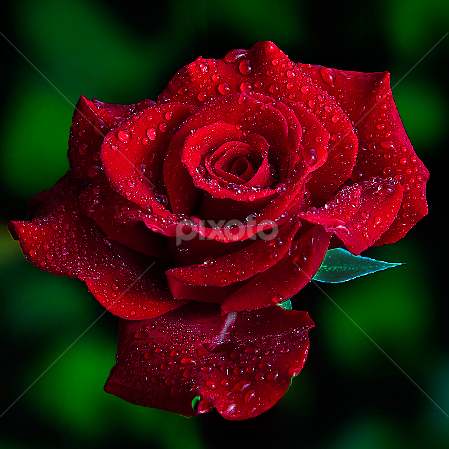 Reds and Green by TEDDY ZUSMA - Nature Up Close Flowers - 2011-2013 ( water, up close, red, nature, green, flower )