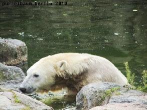 Photo: Knut auf der grossen Eisbaerenanlage