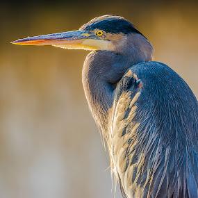 Big Blue Heron by Tomas Rupp - Animals Birds ( bird, nature, blue heron, wildlife, heron, birds,  )