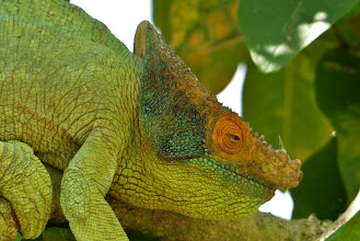 Photo: Chamäleon 2 Von den ca. 150 Chamäleon-Arten weltweit, lebt allein die Hälfte nur auf Madagaskar!