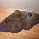 Northern Wattle Moth