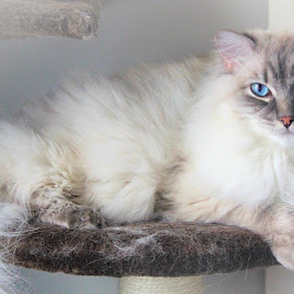 Such a Princess by Lena Arkell - Animals - Cats Portraits ( fur, ragdoll, laying, cat, furry,  )