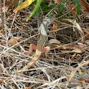 Lagartija colilarga / Algerian Sand Lizard