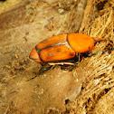 Escaravelho-vermelho