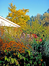 Photo: Rich fall golds from Brown-eyed Susan and Golden Black Locust - ALL seasons should be lovely!