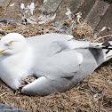 Herring Gull with chicks