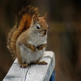 Standoff by Jeff Galbraith - Animals Other Mammals ( railing, wooden, red, furry, cute, rodent, mammal, squirrel, animal )