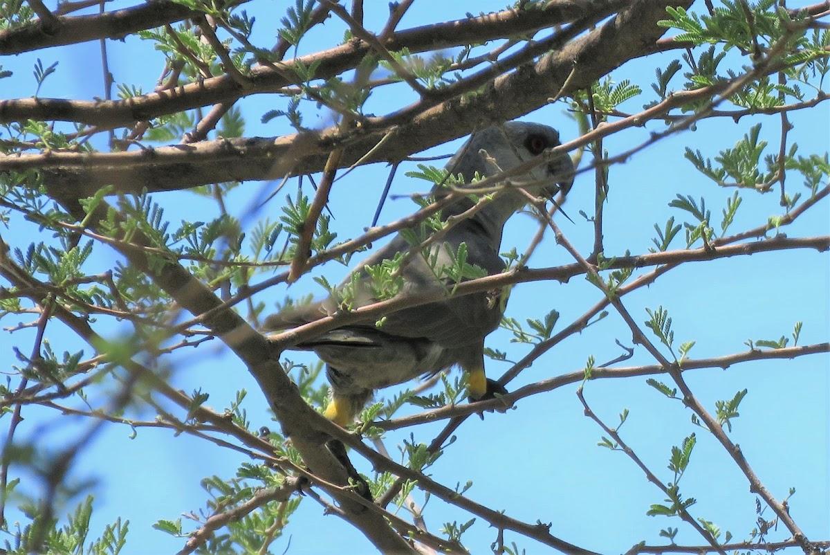 Rüppell's parrot