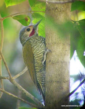 Photo: Gray-crowned Woodpecker, Bioto Road, outside Tuito, Jalisco