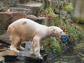 Photo: Knut mit Ball und dekorativem Herbstlaub auf dem Pelz :-)