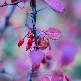 December Buds by Andreea Alexe - Nature Up Close Flowers - 2011-2013 ( #background #buds #outdoor #purple #red, , watercolour, painting, photographs, skills, photoshop, program, pen, technical, face, photography, closeup, close, up )