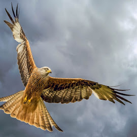Red kite over the Brecon Beacons by Les Wiggin - Uncategorized All Uncategorized ( bird of prey, bird, birds, kite )
