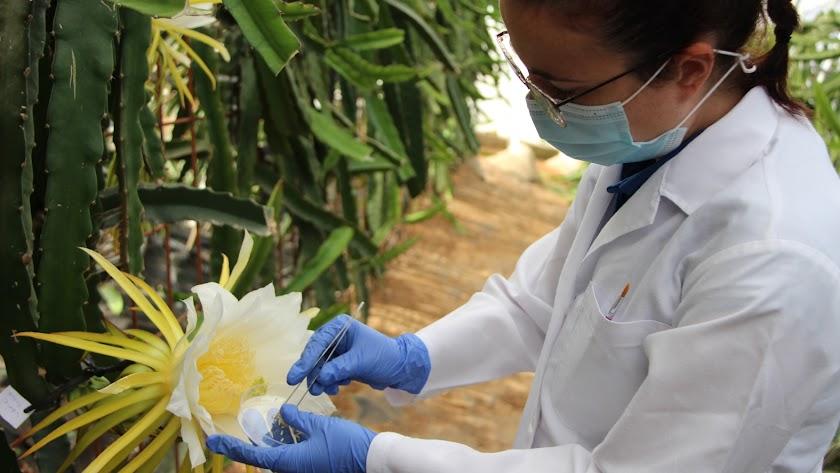 Una técnica en la polinización de flores de pitaya en la finca experimental de Tecnova, al lado del PITA.