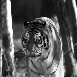 La déambulation du tigre by Gérard CHATENET - Black & White Animals