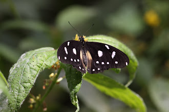 Photo: Female white-banded swallowtail (Papilio echeriodes)
