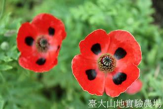 Photo: 拍攝地點: 梅峰-溫帶花卉區 拍攝植物: 瓢蟲虞美人 拍攝日期:2012_05_26_FY