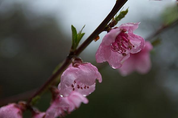 Fiori rosa, fiori di pesco di Sergio Acerbi