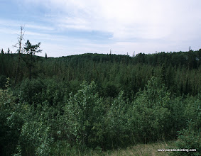 Photo: Black spruce bog in Alberta's boreal forest, home of the breeding Palm Warbler and Three-toed Woodpecker