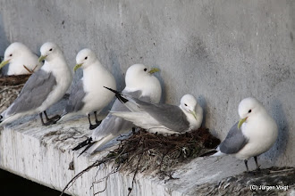 Photo: Kittiwake.