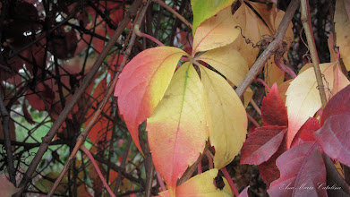 Photo: 2015.10.15 - Vita ornamentala, vita de Canada (Parthenocissus quinquefolia)