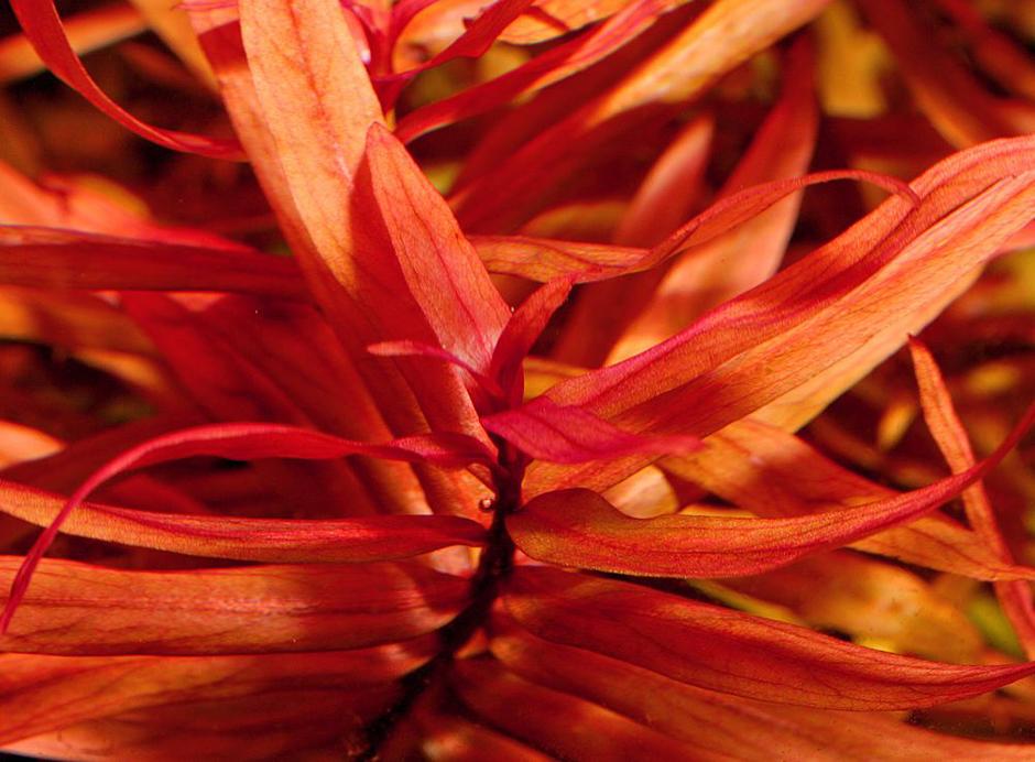 Аммания изящная (Ammannia gracilis)