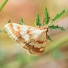 Ephelis Cruentalis Moth