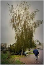 Photo: Mesteacăn (Betula) - din Parcul Teilor - 2017.11.10