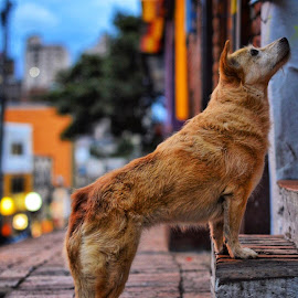 Street Dog in Bogotá, Colombia by Tyler Armstrong - Animals - Dogs Portraits ( hungry, candid, begging, dog, street photography )
