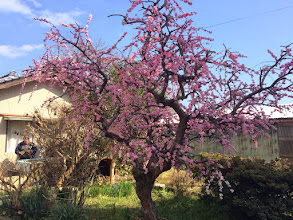 Photo: 3月 取材の途中で見つけた綺麗な梅の木です。